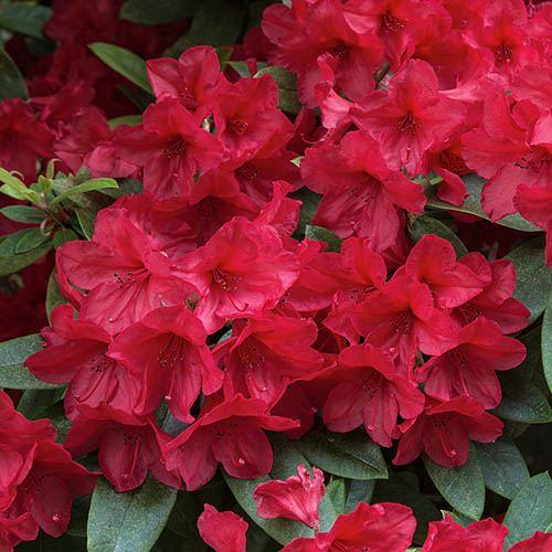 Rhododendron Nova Zembla (Red)