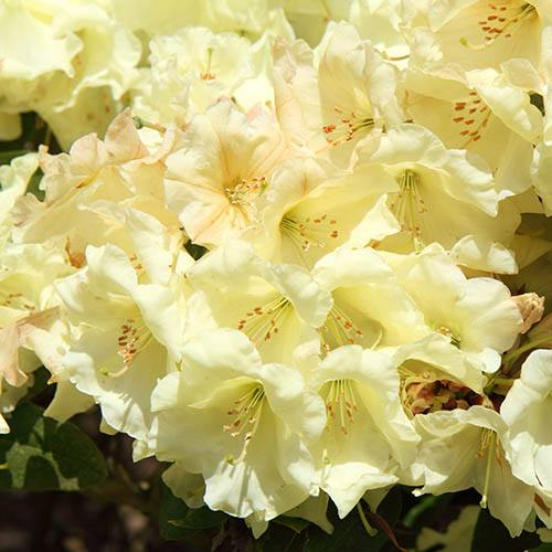 Rhododendron Elsie Straver (Yellow)