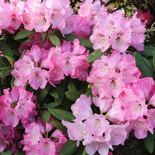 Rhododendron Collection x 3 Colours