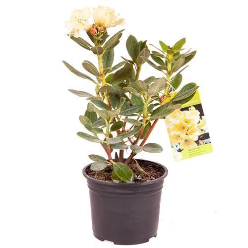 Premium Rhododendron Nancy Evans