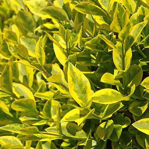 Ligustrum ovalifolium Aureum - Golden Privet