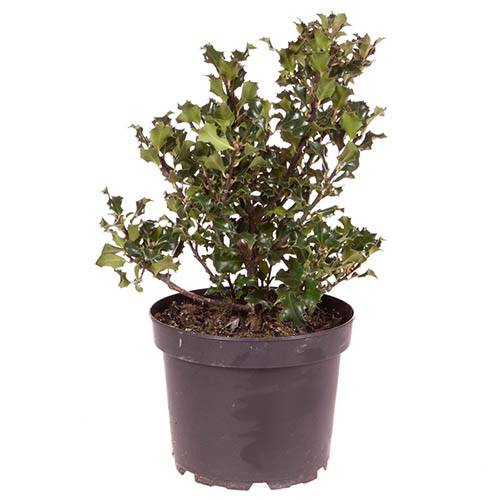 Holly Bush Ilex Blue Prince