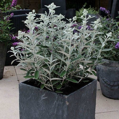 Buddleia Silver Anniversary Butterfly Bush