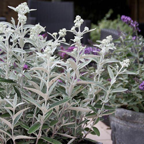 Buddleia Silver Anniversary Butterfly Bush
