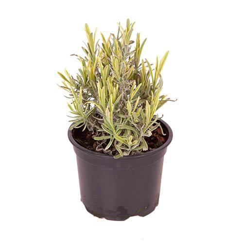 Lavender Platininum Blonde