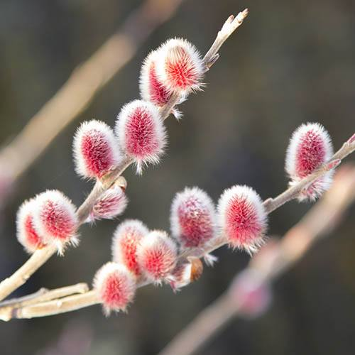 Mount Aso Japanese Pink Pussy Willow Salix gracilistyla