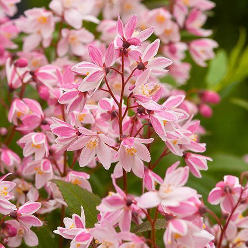 Deutzia Yuki Cherry Blossom