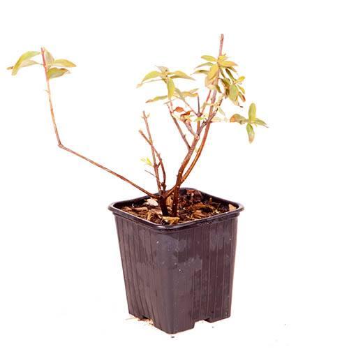 Hypericum moserianum Little Misstery