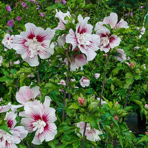 Hibiscus syriacus Starburst Chiffon