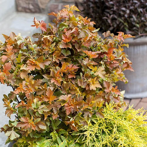 Physocarpus opulifolius Burning Embers Ninebark