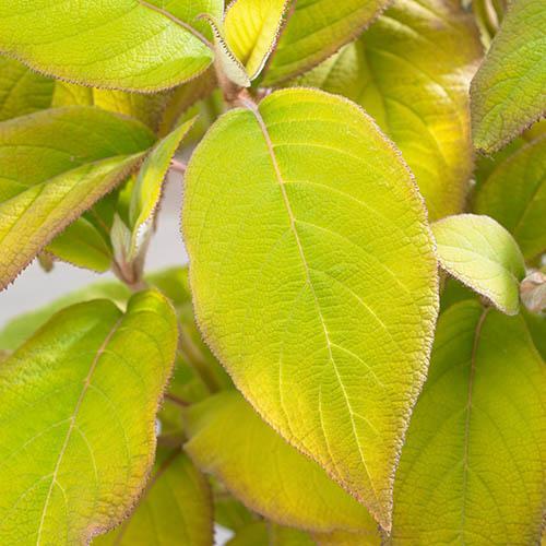 Hydrangea aspera Goldrush