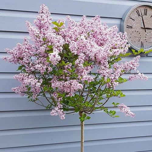 Pair Of Lilac Syringa Palibin Standard