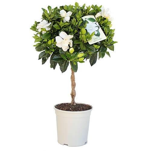 Gardenia jasminoides Cape Jasmine 70cm standard