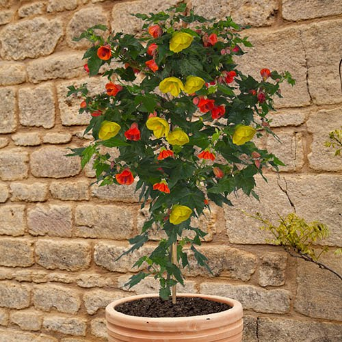 Abutilon Red & Yellow Mix Standard Shrub