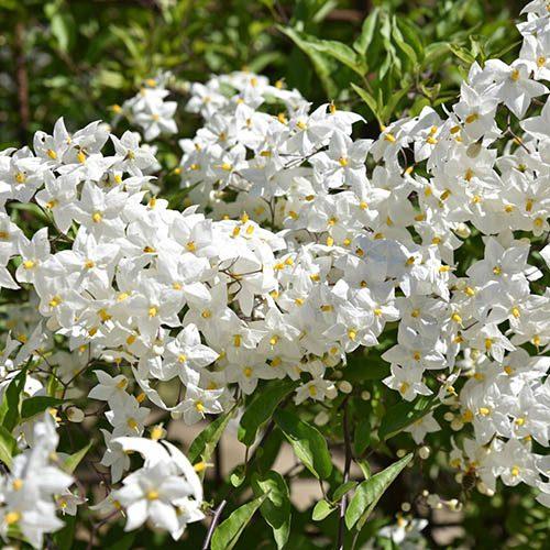 Solanum rantonnetti Blue and White Patio BushStandard
