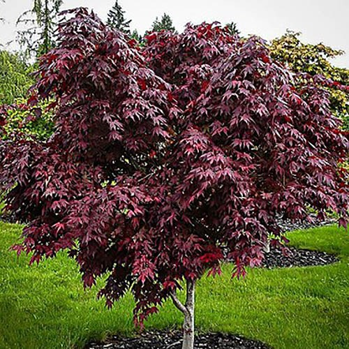 Japanese Maple Acer palmatum Mystic Jewel