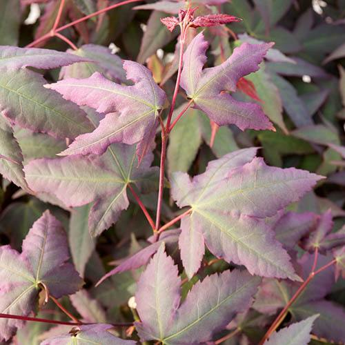 Japanese Maple Acer palmatum Mystic Jewel
