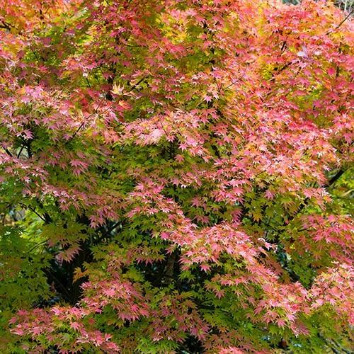 Acer palmatum Japanese Maples Set of 3