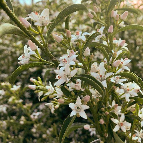 Eriostemon (Philotheca) myoporoides White Lady