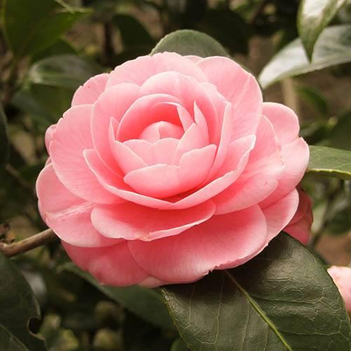 Camellia Collection 3 Colours
