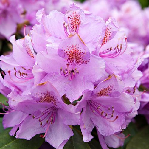 Hardy Azalea Lilac Dream Standard