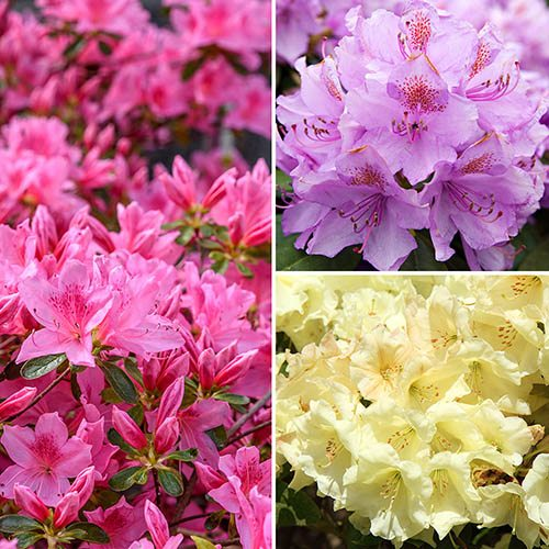 Dwarf Rhododendrons Collection