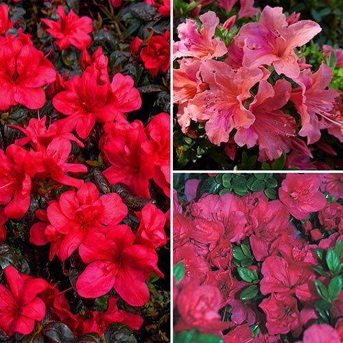 Evergreen Azaleas Collection