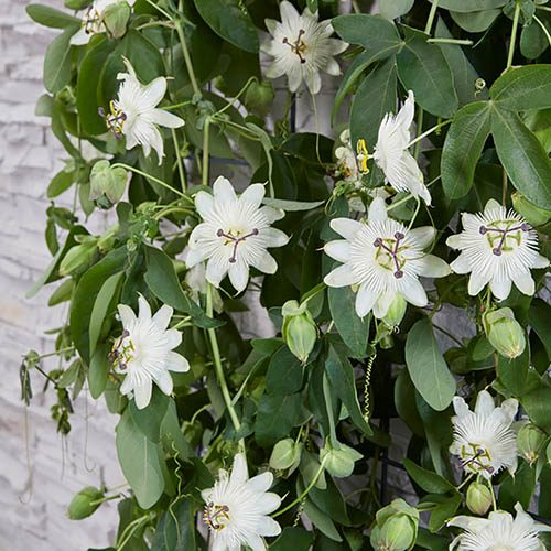 Passiflora Riverside (R) Snow Queen