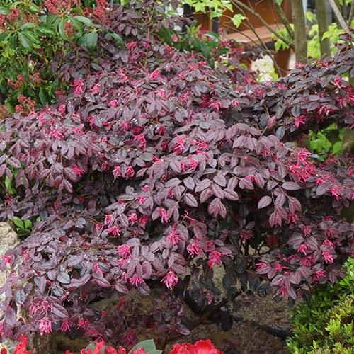 Loropetalum Chinese Witch Hazel Firedance