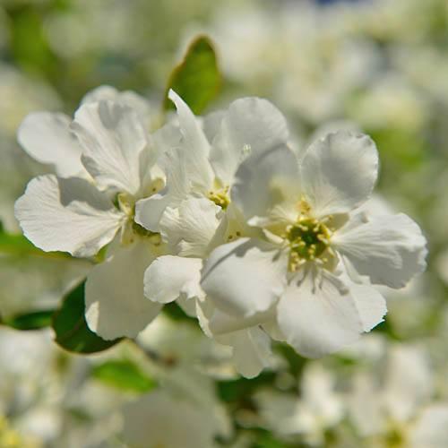 Exochorda serratifolia Snow White
