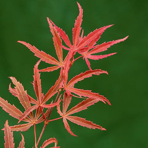 Acer Palmatum Shirazz Japanese Maple Tree 3L pot