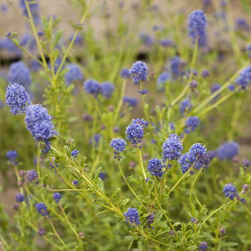 Hardy Ceanothus Standard Californian Lilac
