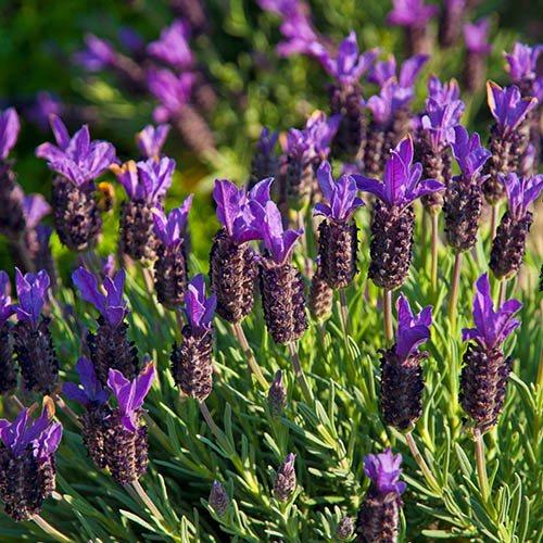 Lavender Greek Mountain