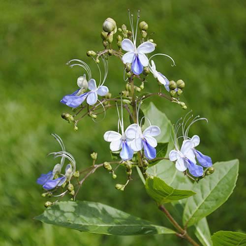 Clerodendrum myricoides Ugandense Blue Butterfly Bush Standard