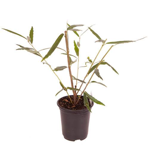 Chilean Lantern Tree Crinodendron hookerianum Ada Hoffman