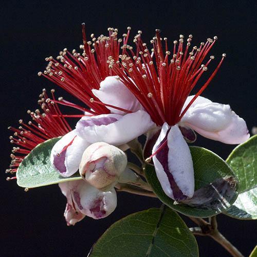 Pineapple Guava Feijoa sellowiana Mammoth