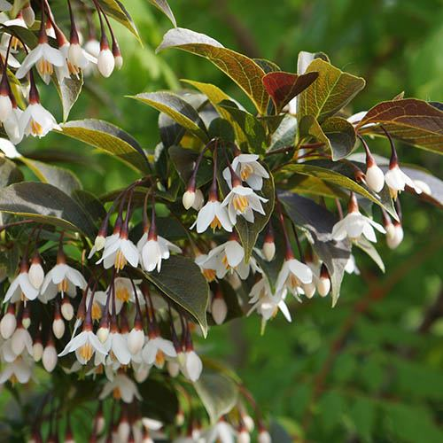 Styrax japonica Evening Light Japanese Snowbell