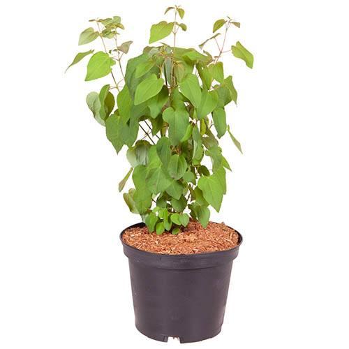 Toffee AppleTree Cercidiphyllum japonicum Katsura