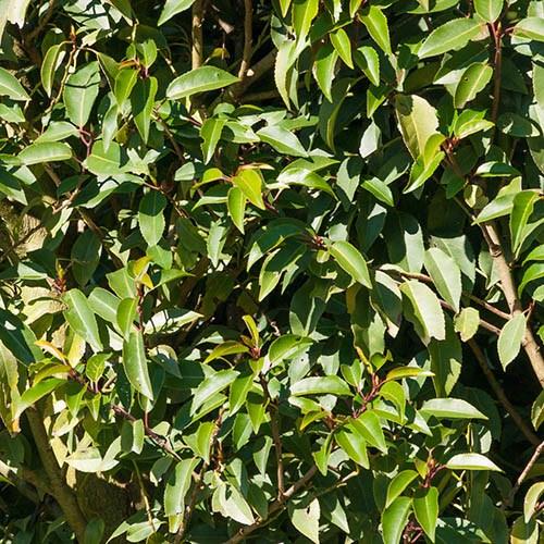 Portuguese Laurel, Prunus lusitanica Angustifolia