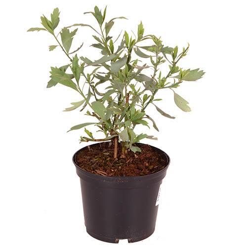 Californian Poppy Tree, Romneya coulteri