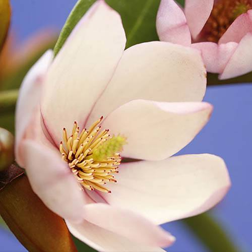 Magnolia Fairy Blush
