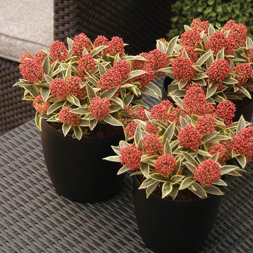 Japanese Skimmia japonica Magic Marlot