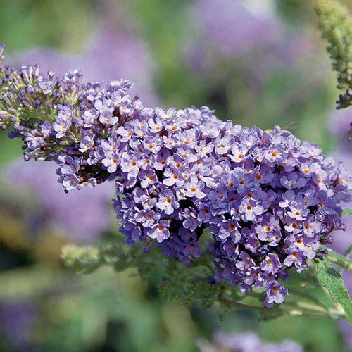 Buddleia Buzz Butterfly Bush