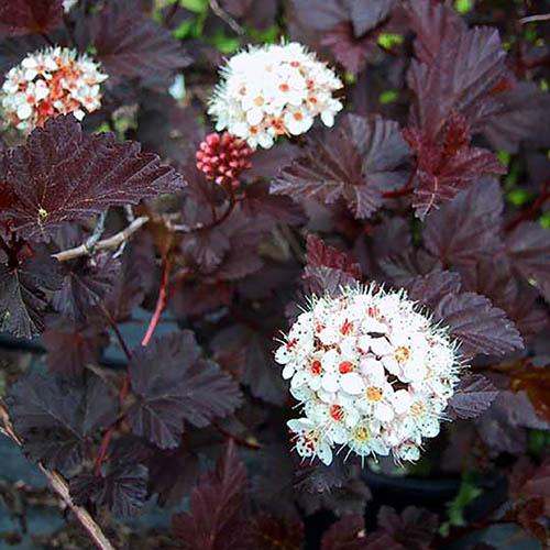 Ninebark Physocarpus Collection 3 x 9cm