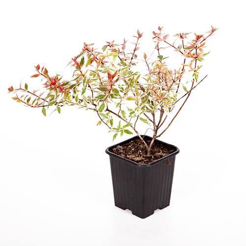 Abelia grandiflora Tricolour Charm (R)