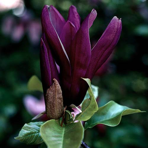 Magnolia 'Genie' in 14cm Pot