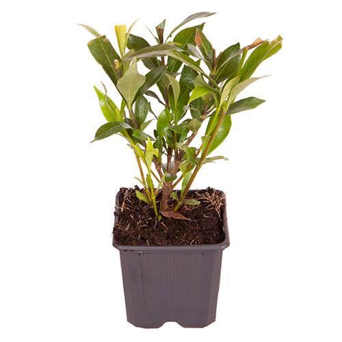 Hardy Gardenia jasminoides Celestial Star