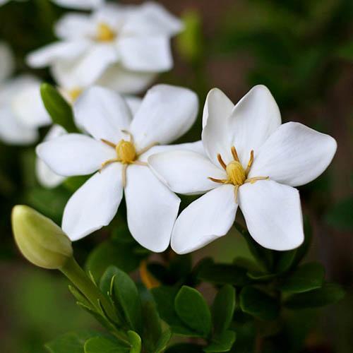 Hardy Gardenia jasminoides 'Sweet Heart'