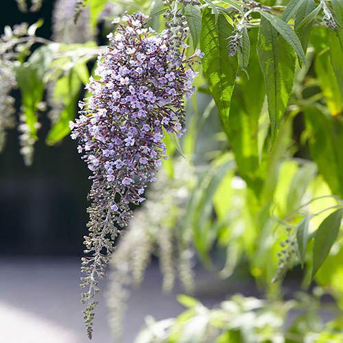 Butterfly Bush, Buddleia davidii Wisteria Lane