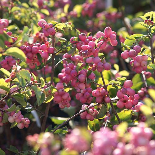 Snowberry Symphoricarpos Magical Candy